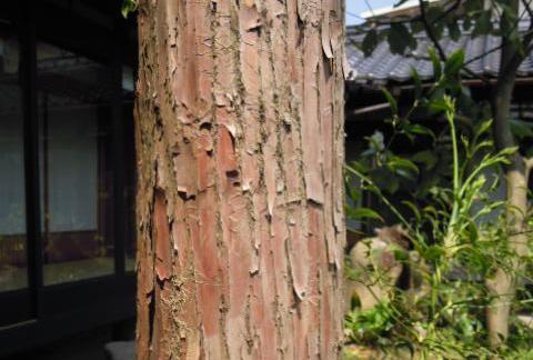 アララギの木(一位の木)