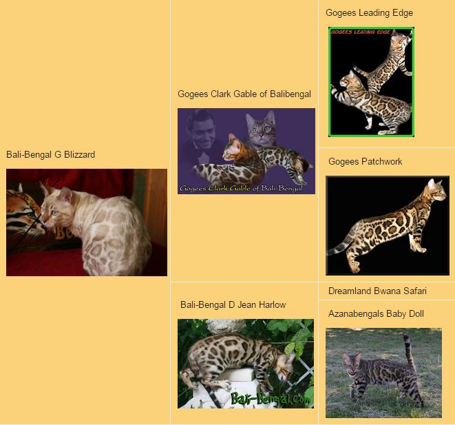 Бенгальский кот родословная Bali-Bengal G Blizzart