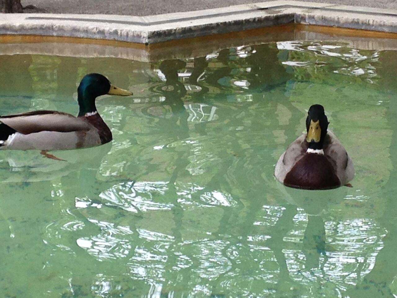 Den Enten geht der Arbeitshund immer aus dem Weg.