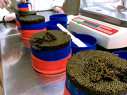 Vorbereitung zur Konfektionierung des Kaviars