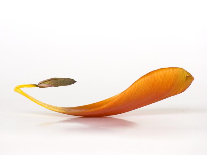 Photostudio NEUES LEBEN, Ute Vogel-Rusche, Kunstgalerie, Natur, Tulpen, Studio,  Tulpenkunst,