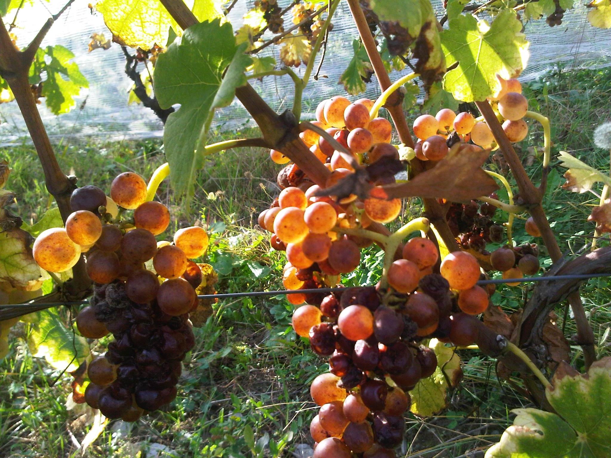 Jacquère, vin de Savoie