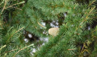 Zedernbaum