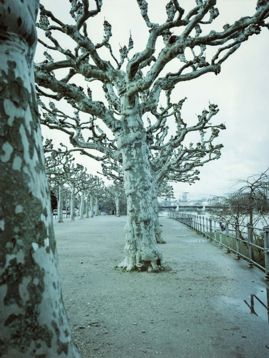 Branching | LomoChrome Metropolis at 250 ISO with Fujifilm GA645Wi