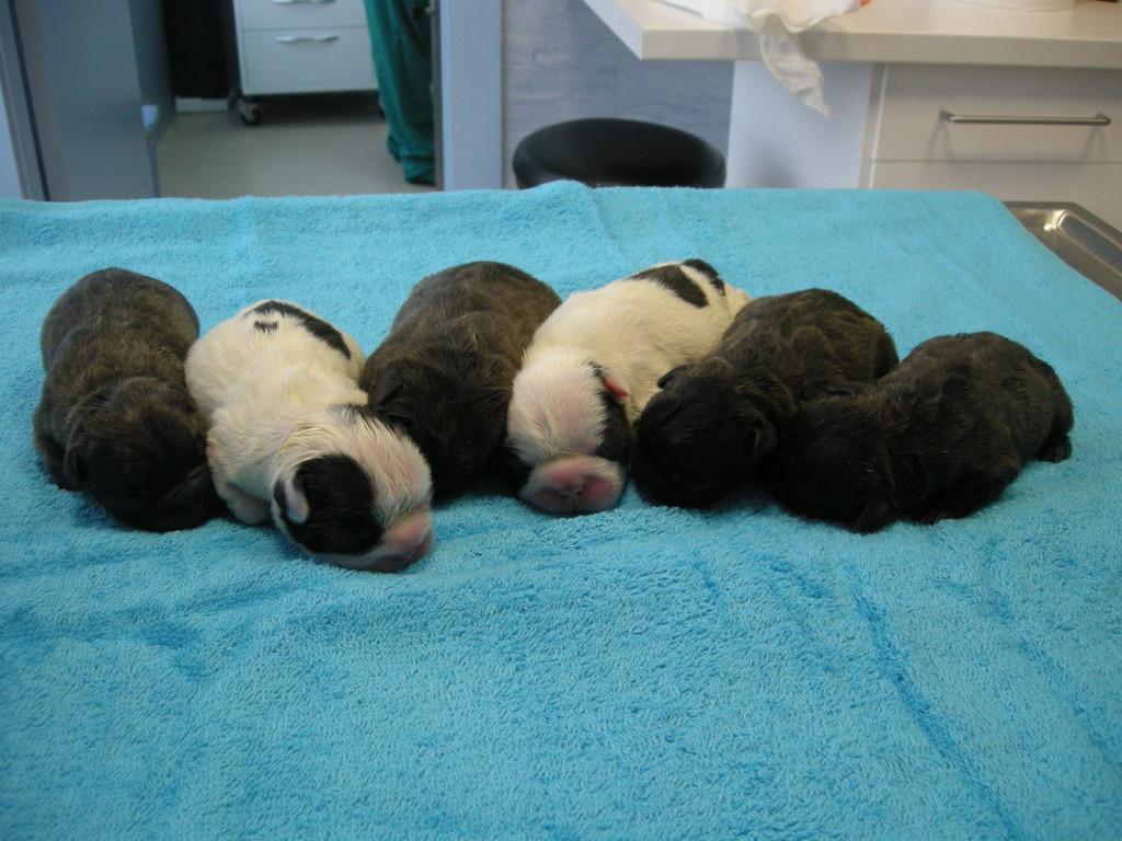 Camada Bulldogs Francés nacida por cesárea