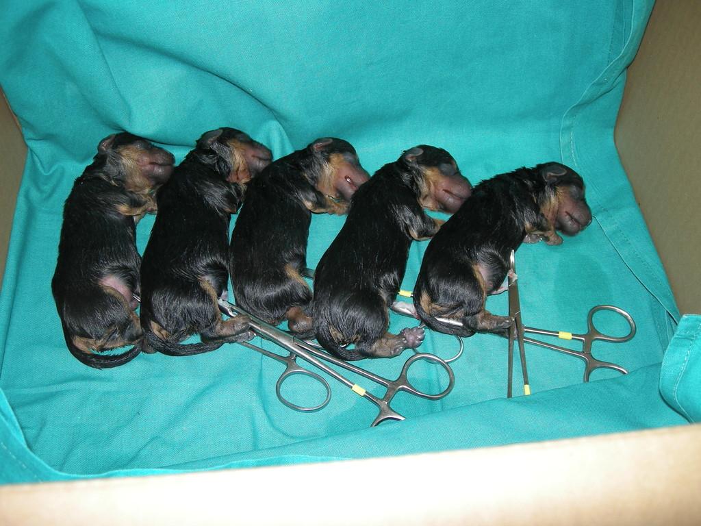 Camada Yorkshire Terrier nacidos por cesárea con 30 minutos de vida