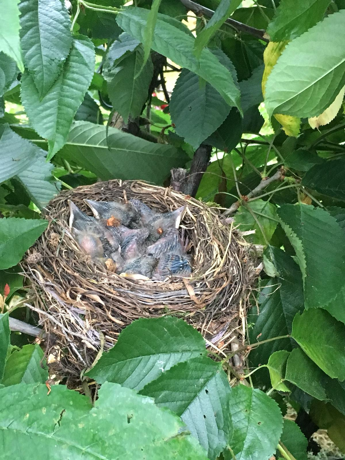 Eine Vogelmama hat für ihre Jungen eine Nest in unserer Kirschanlage gebaut.