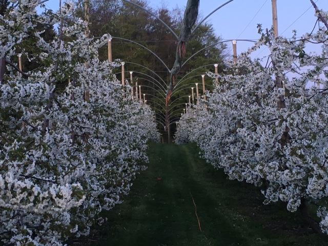 Kirschbäume in Vollblüte