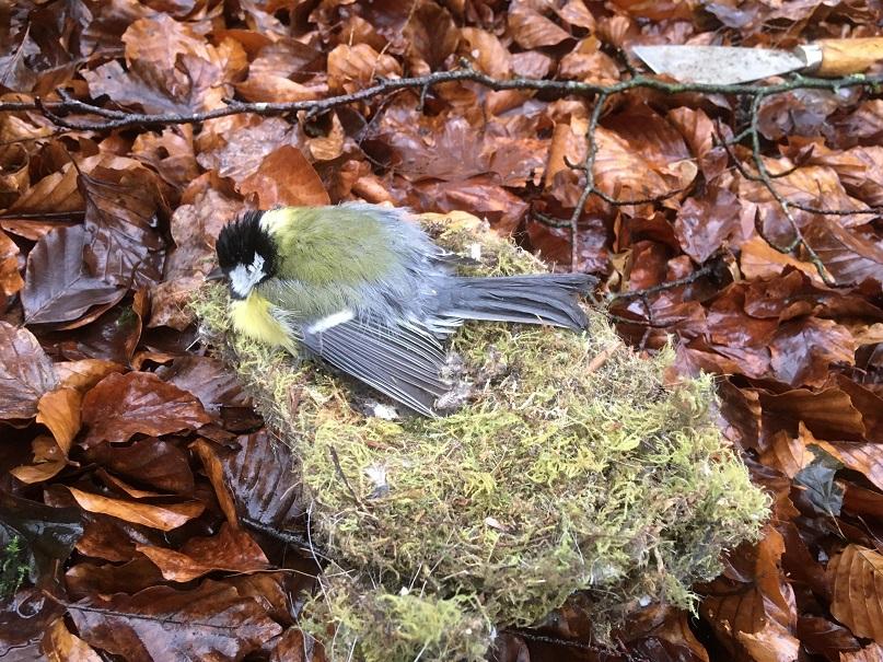 Auch das gibt es immer einmal: Eine tote Kohlmeise auf dem Nest