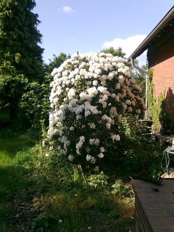 """Der """"Gigantododendron"""" im Vorgarten"""