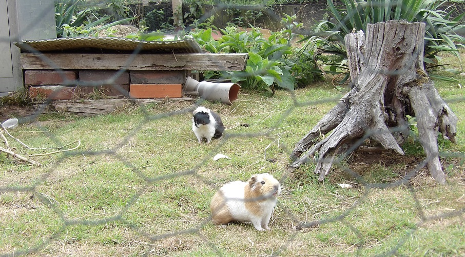 """Die Meerschweinchen - als """"Rasenmäher"""" in der Führanlage!"""