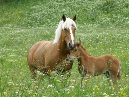 Elevage-chevaux-comtois-arabe-Horse-breeding-Pferdezucht