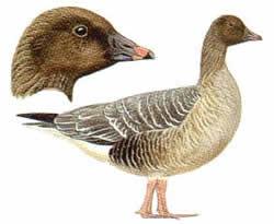 http://www.birdsofbritain.co.uk
