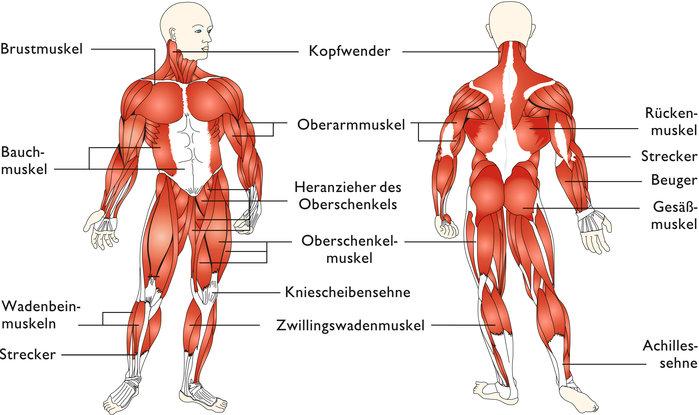 Beste Die Muskelanatomie Bilder - Anatomie Von Menschlichen ...