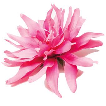 Ansteckblume rosa