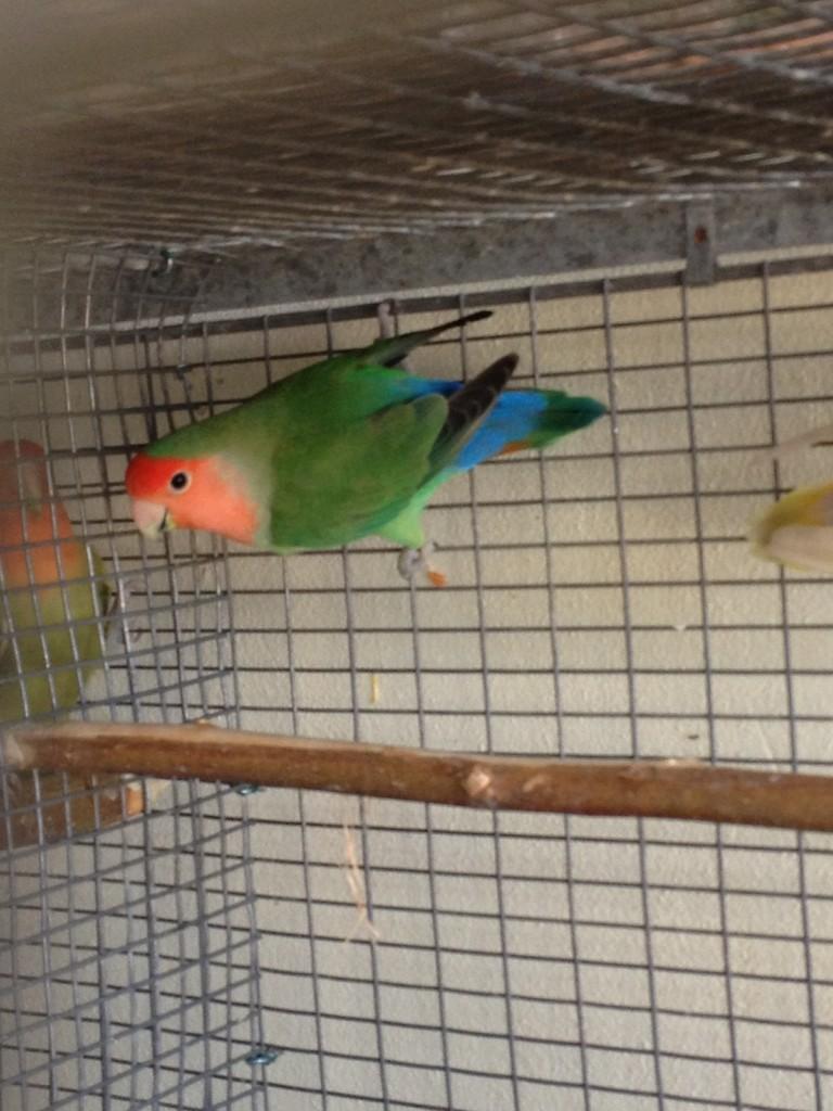 Maschio verde faccia rossa/fa/ino/opale