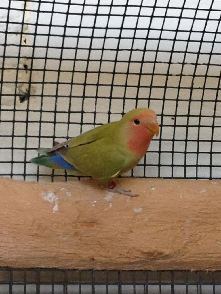 Novello verda faccia rossa cannella / fa (se maschio portatore di ino)