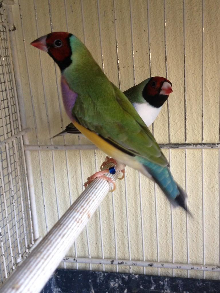 Femmina verde testa rossa petto viola / blu