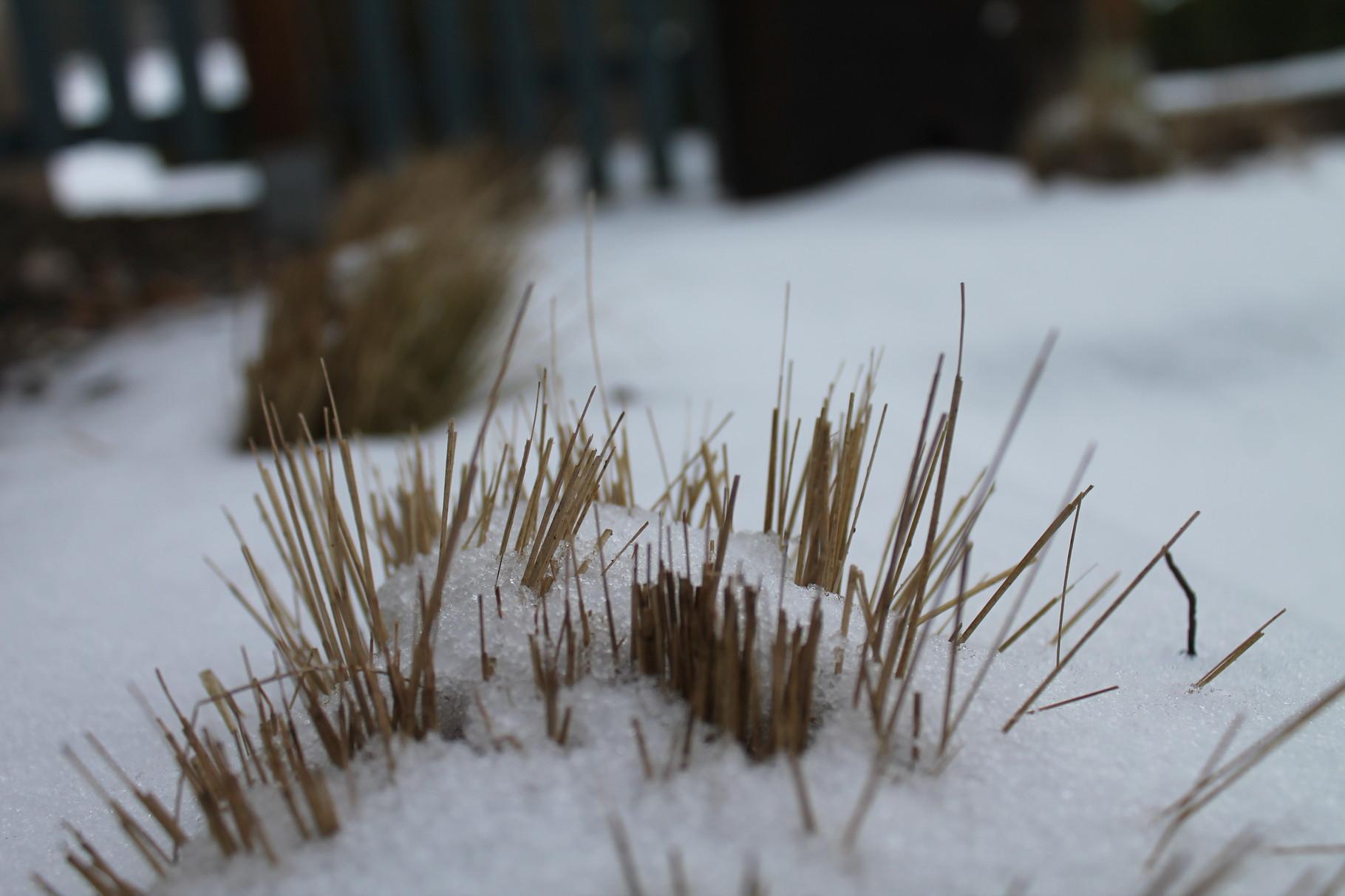 Zartes Federgras in der Winterruhe