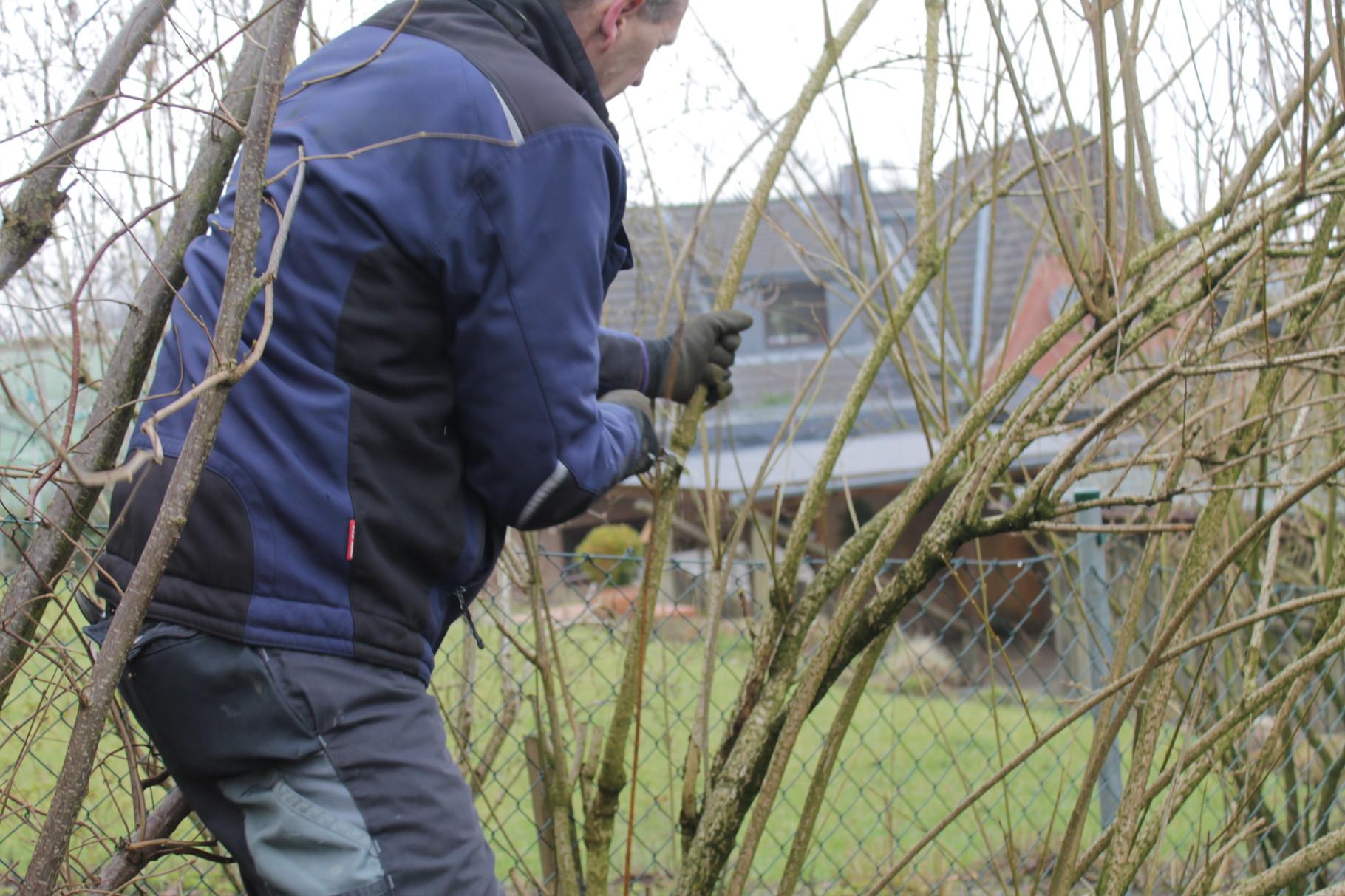 Zuviel Altholz fordert den starken Rückschnitt der Forsythie