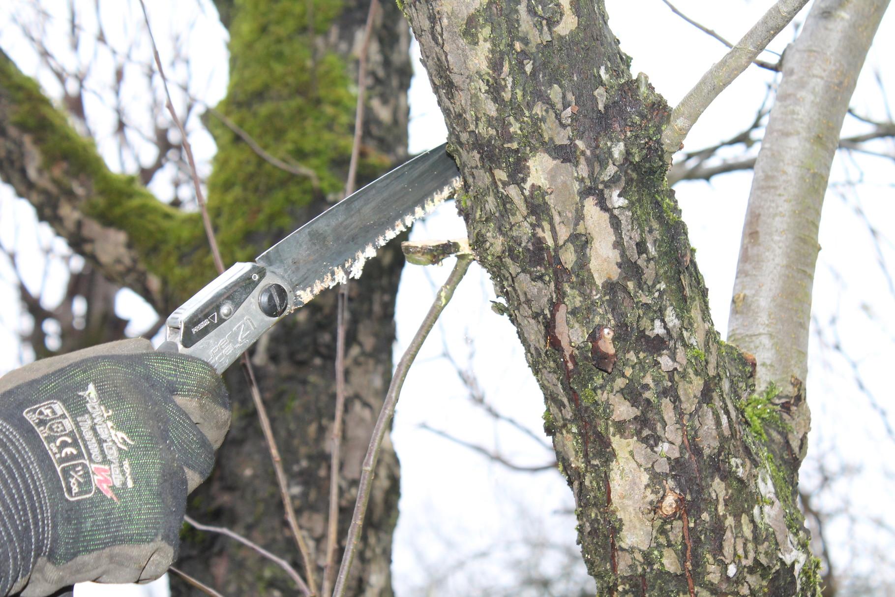 Die Silky Klappsäge hat ein sehr flexibles Sägeblatt. Die Säge nur ziehen, nie drücken!