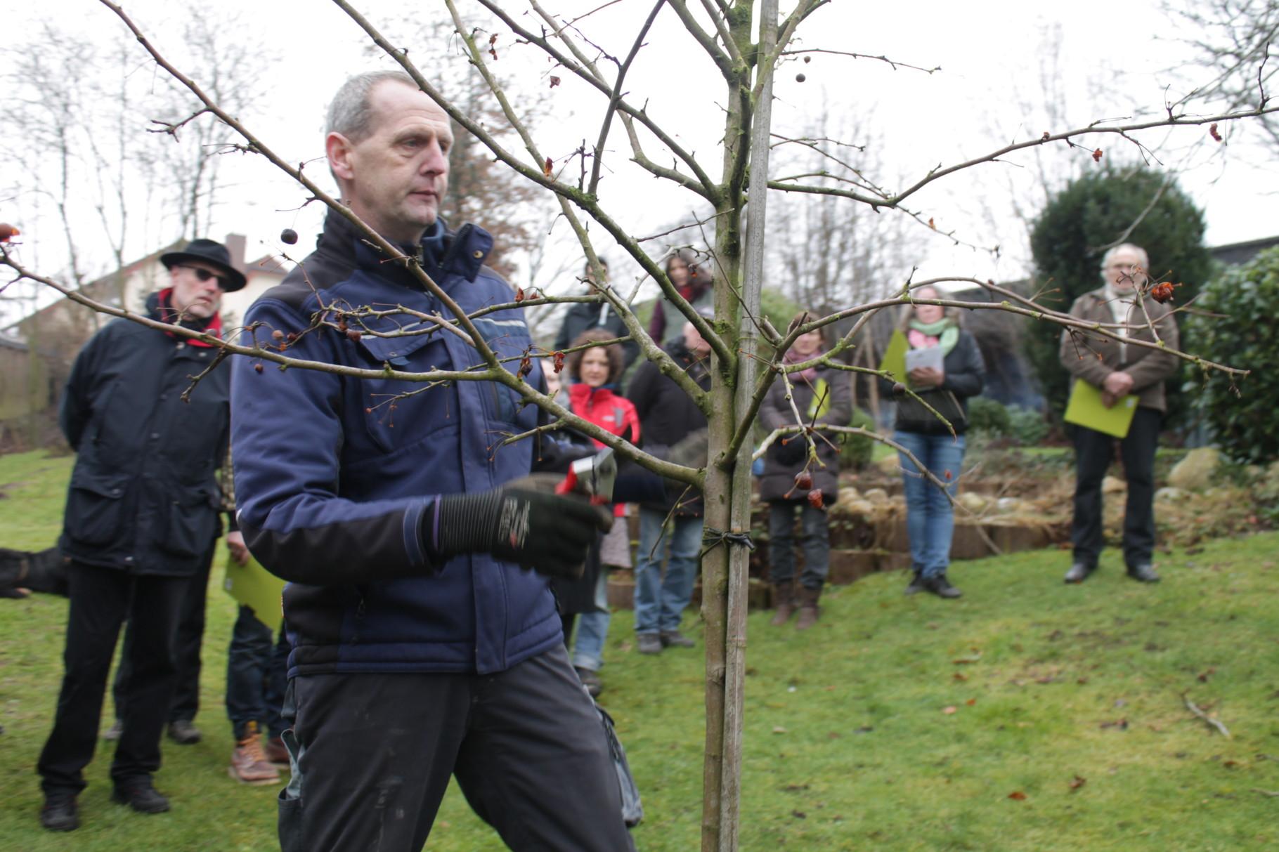 Auch ein junger Zierapfelbaum sollte bereits mit regelmäßigen Schnitten gepflegt werden. Kleine Schnittflächen um eine saubere Wundheilung zu fördern