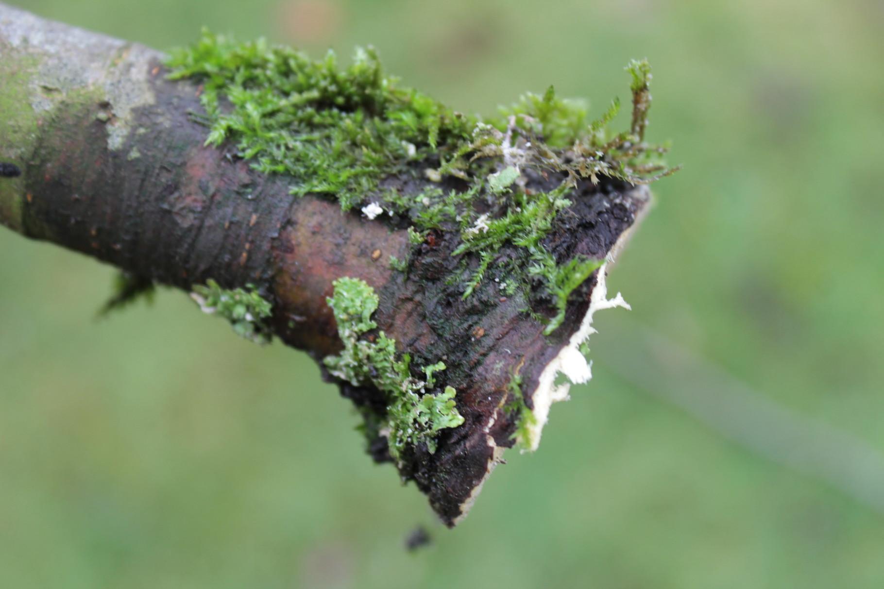Gerade Baumschnitte mit dem Astring minimieren den erneuten Austrieb und fördern die Wundheilung des Apfelbaumes