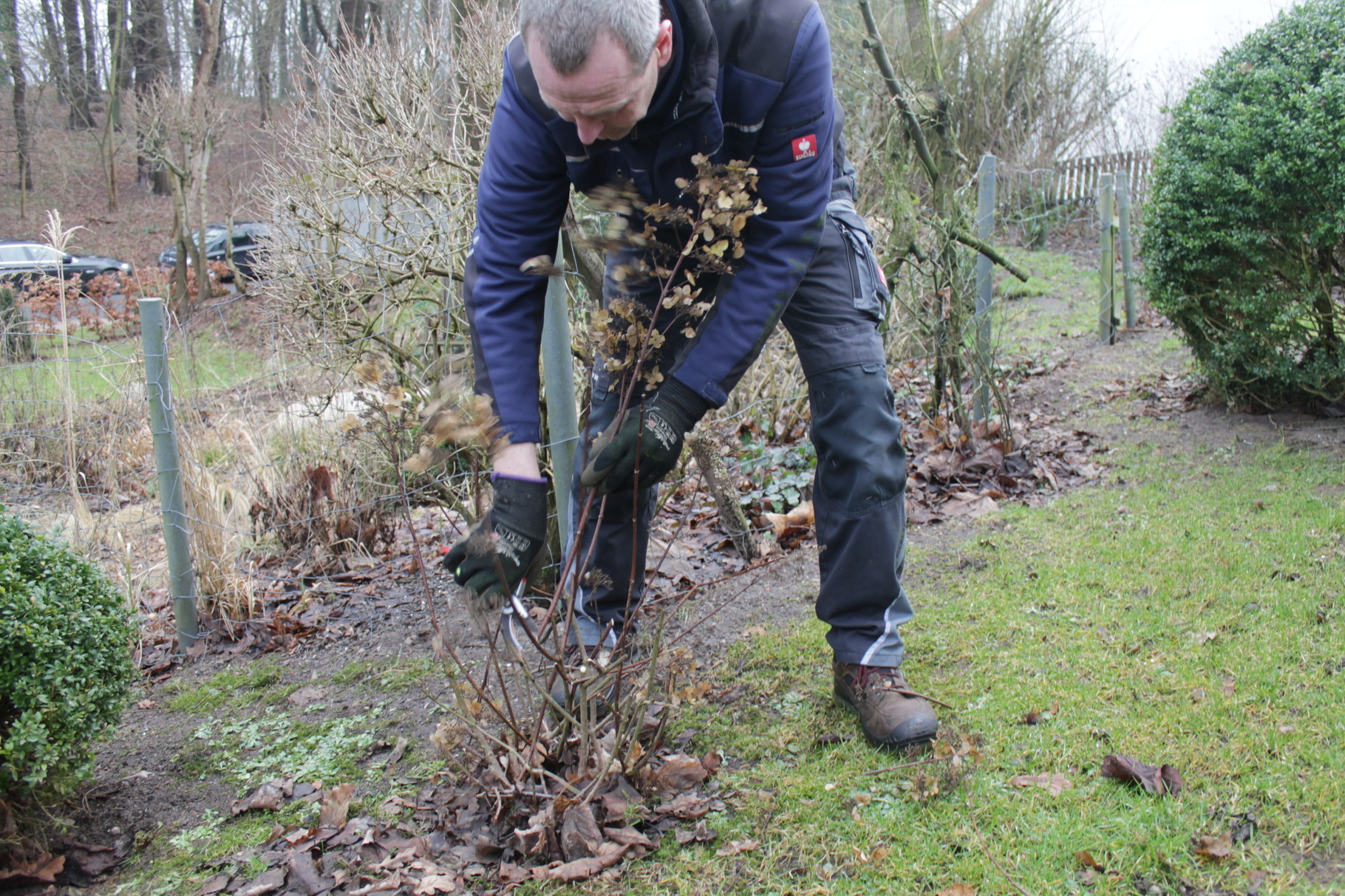 Bis 10 Zentimeter über den Boden dürfen Rispen-Hortensien gekürzt werden