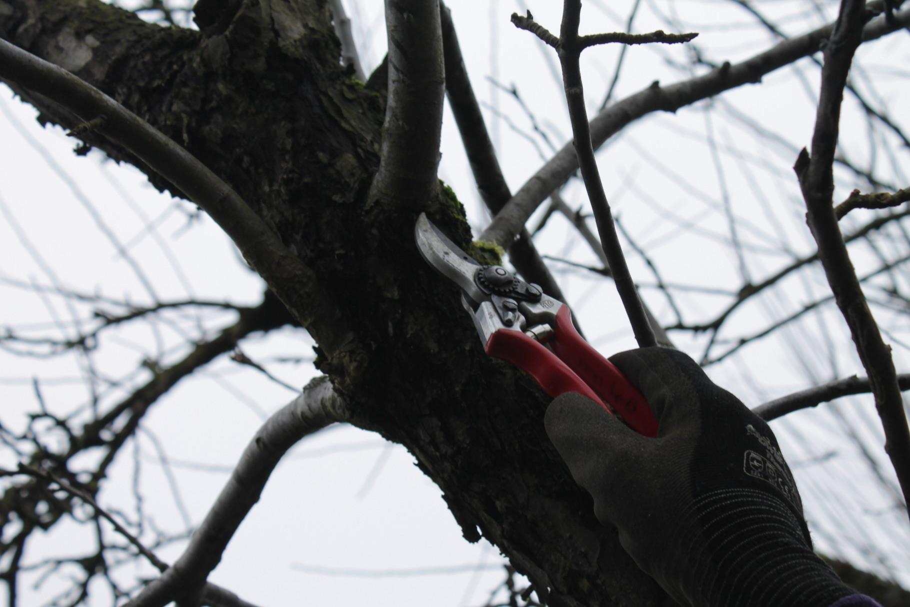 Zweige beurteilen und Stammnah abschneiden