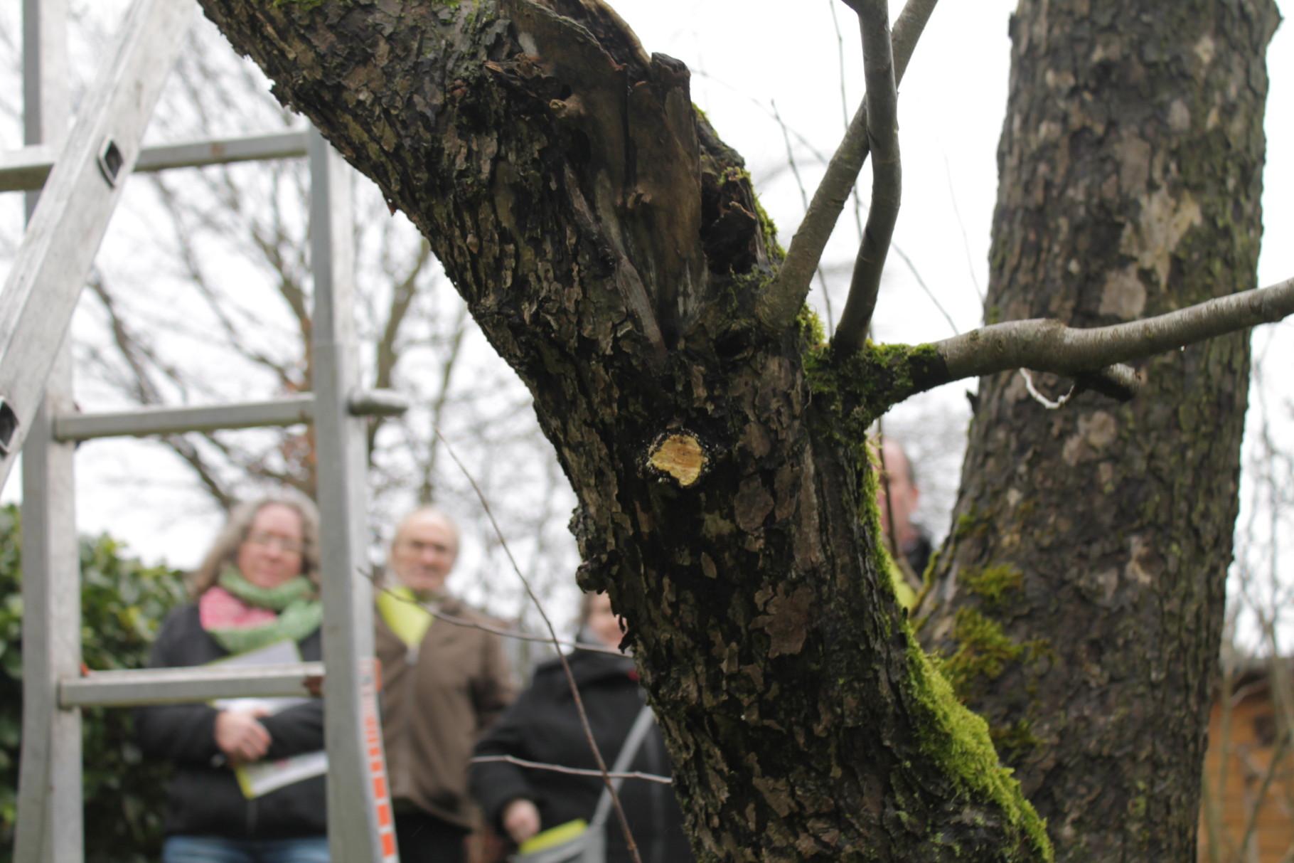 Baumschnitt mit scharfen Werkzeug ist wichtig. Die Schnitt-Durchmesser dürfen max. 10 Zentimeter groß sein