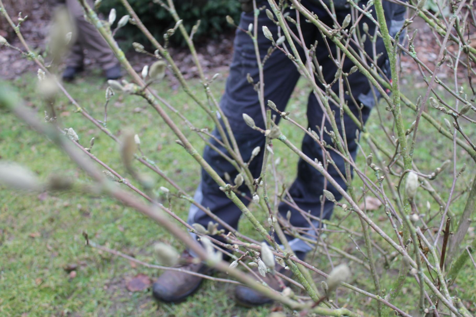 Magnolien schneiden. Aber bitte nur gezielt, am Boden oder Äste, die nach Innen wachsen.