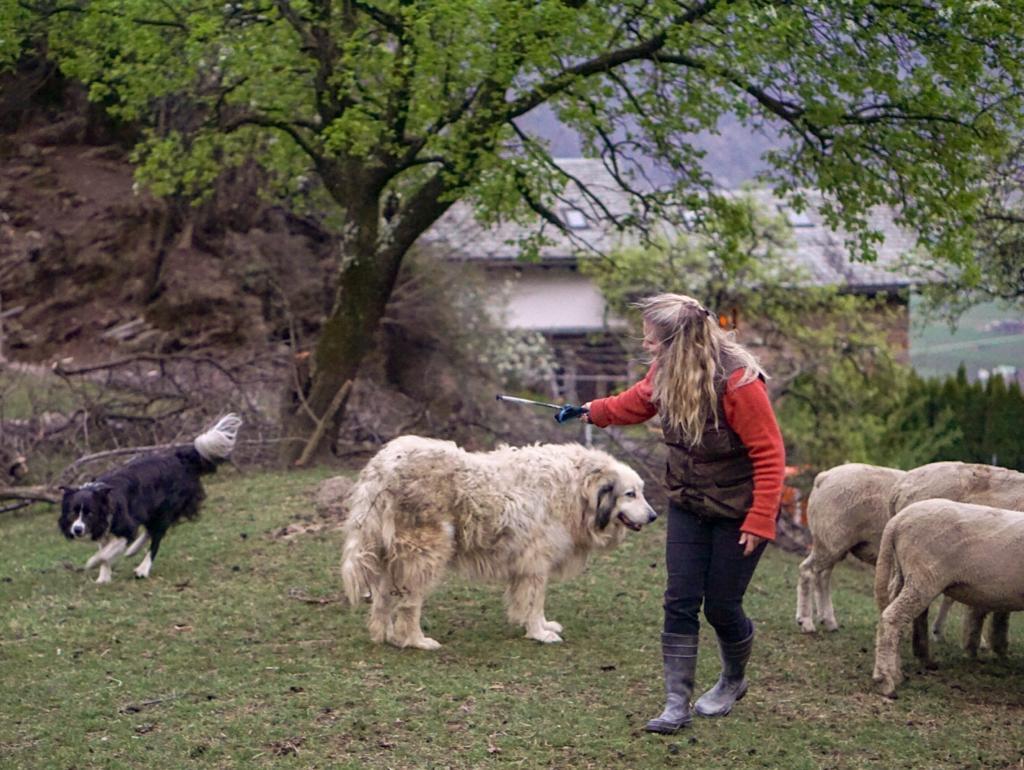 Bei der Ausbildung der Hütehunde gemeinsam mit den Schafen und Herdenschutzhund Caid