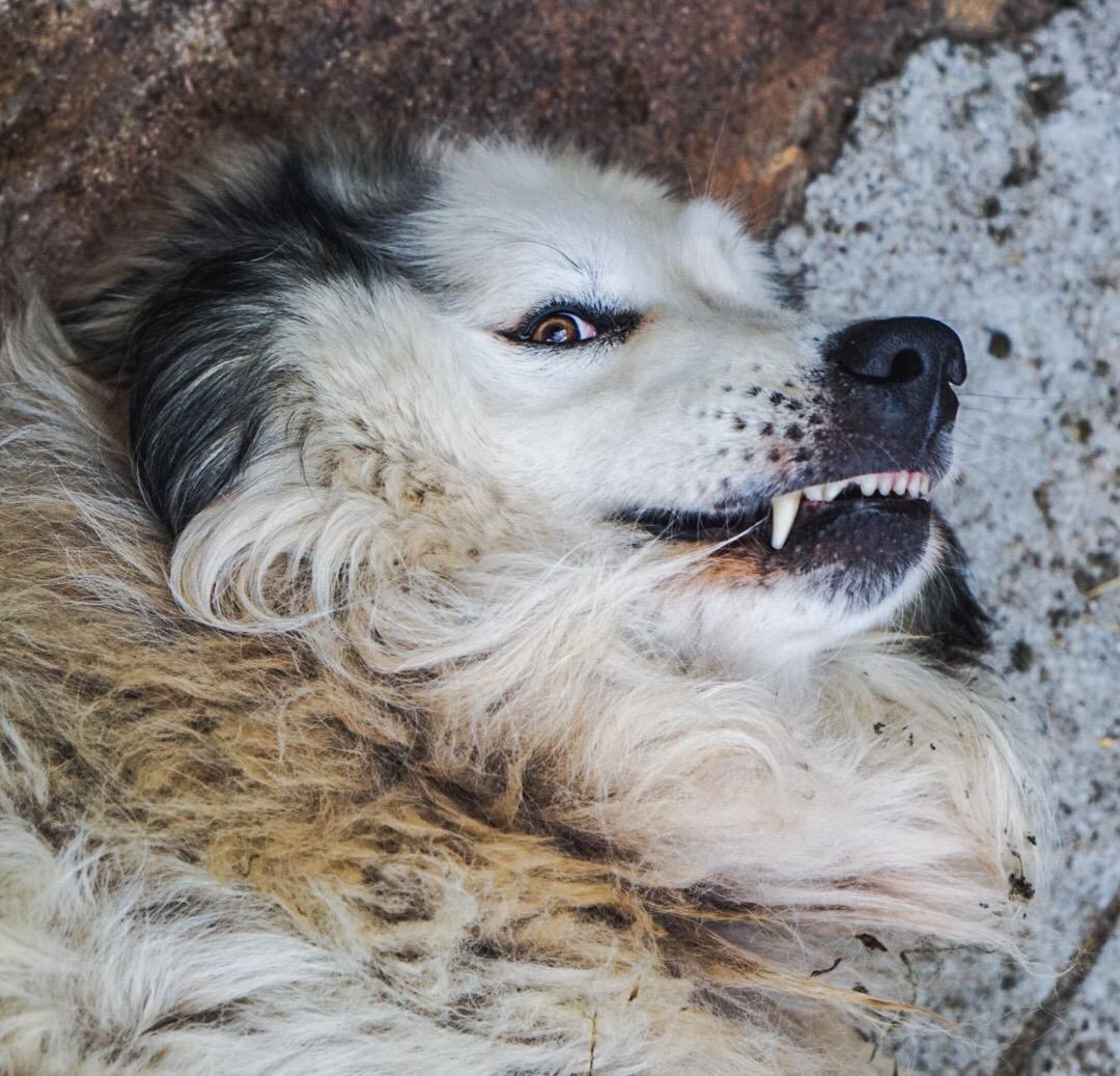 mein Lieblindsherdenschutzhund Caid der immer lachte beim kuscheln, er ist diesen Sommer auf der Alp mitten in der Schafherde friedlich ohne vorherige Krankheit eingeschlafen und nicht mehr aufgewacht. Der Senior ist ein grosser Verlust!