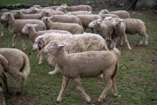 Auch Caid läuft mit beim Treiben der Herde mit