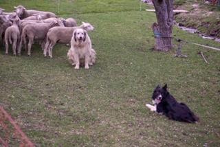 der Hütehund muss die Herde ruhig halten auch Caid ist einverstanden