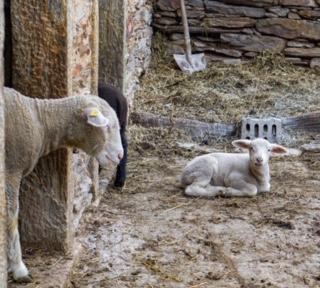 Schaf und ihr Lamm