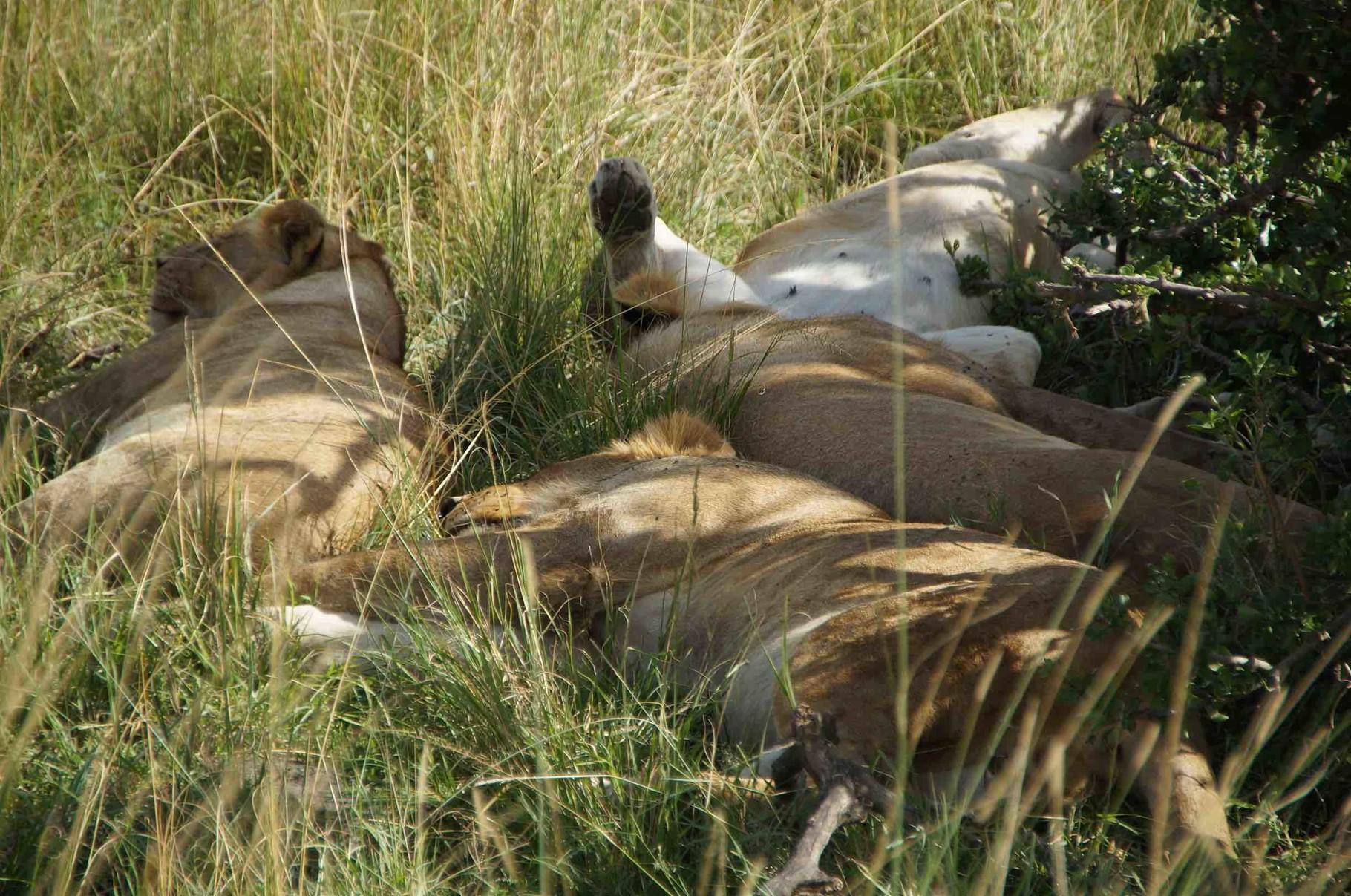 Familie Löwe beim Verdauungsschläfchen