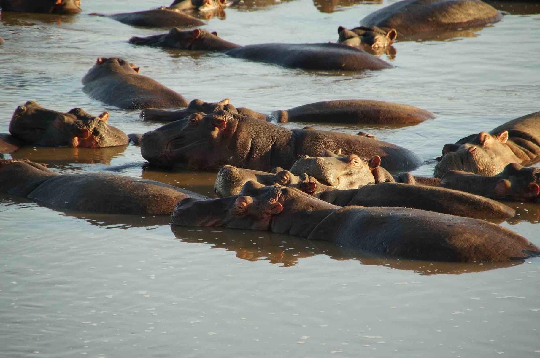 Familie Hippo beim Chillen