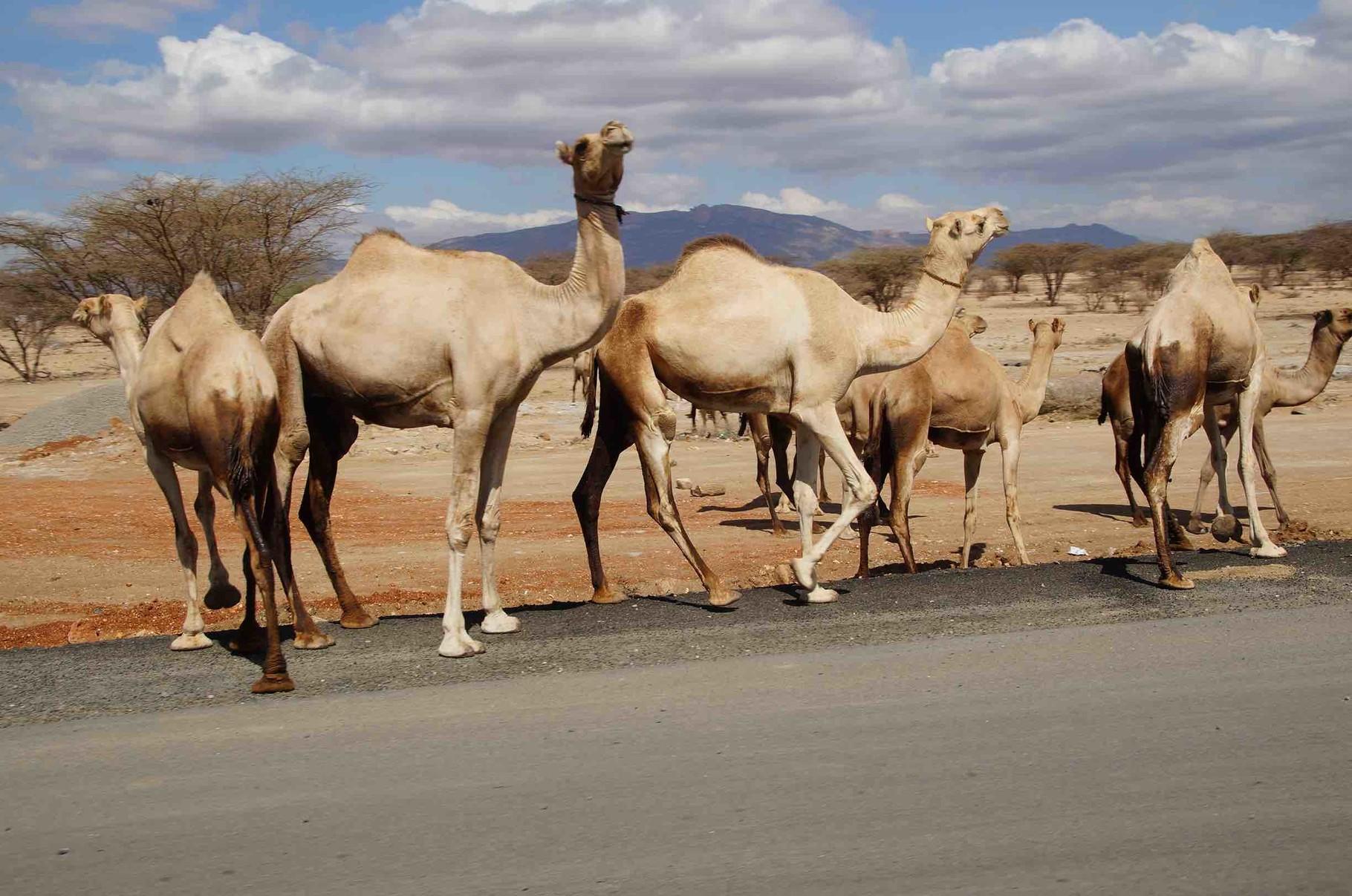 Kamele von links