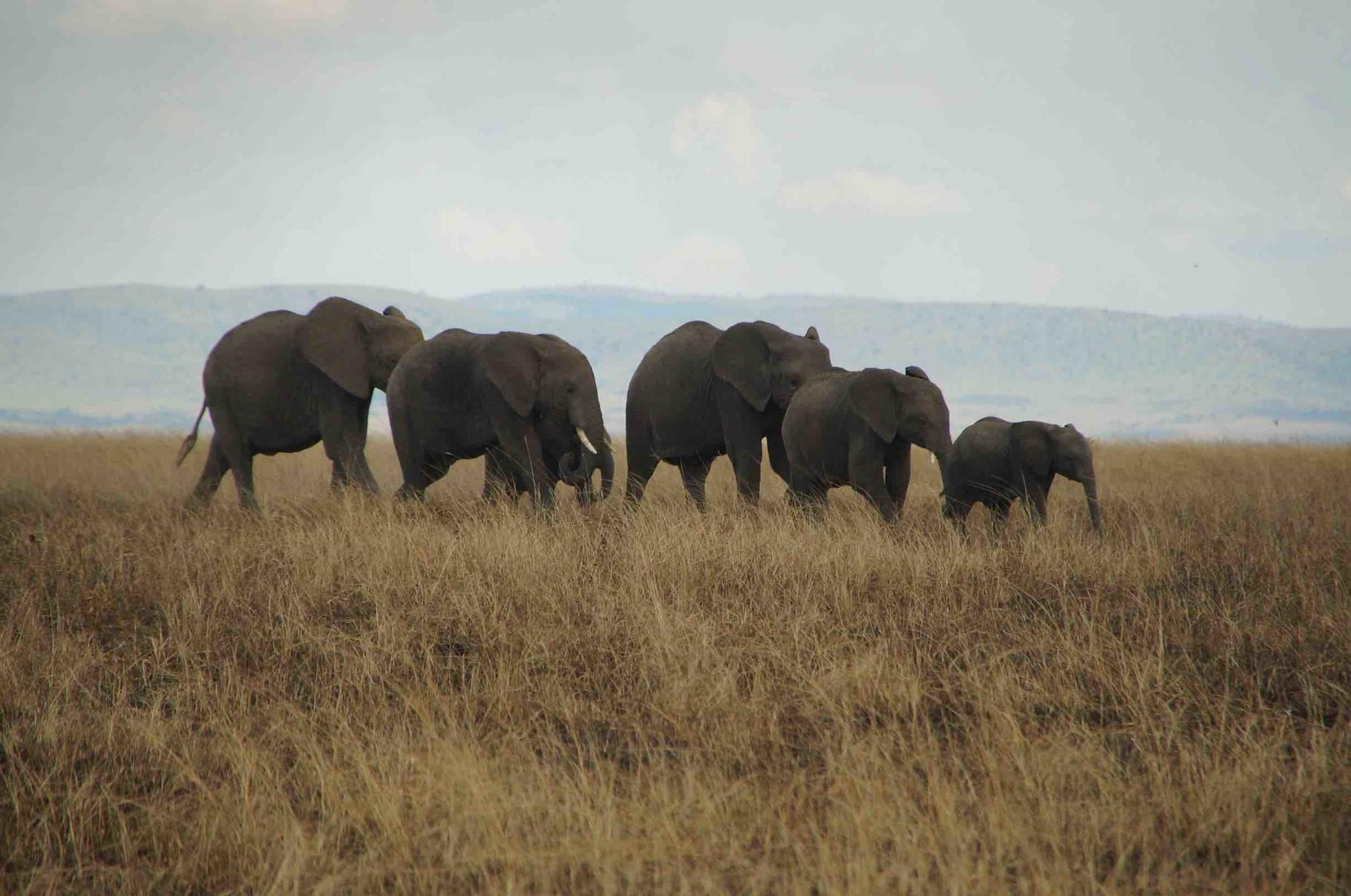 Familie Elefant im Gänsemarsch