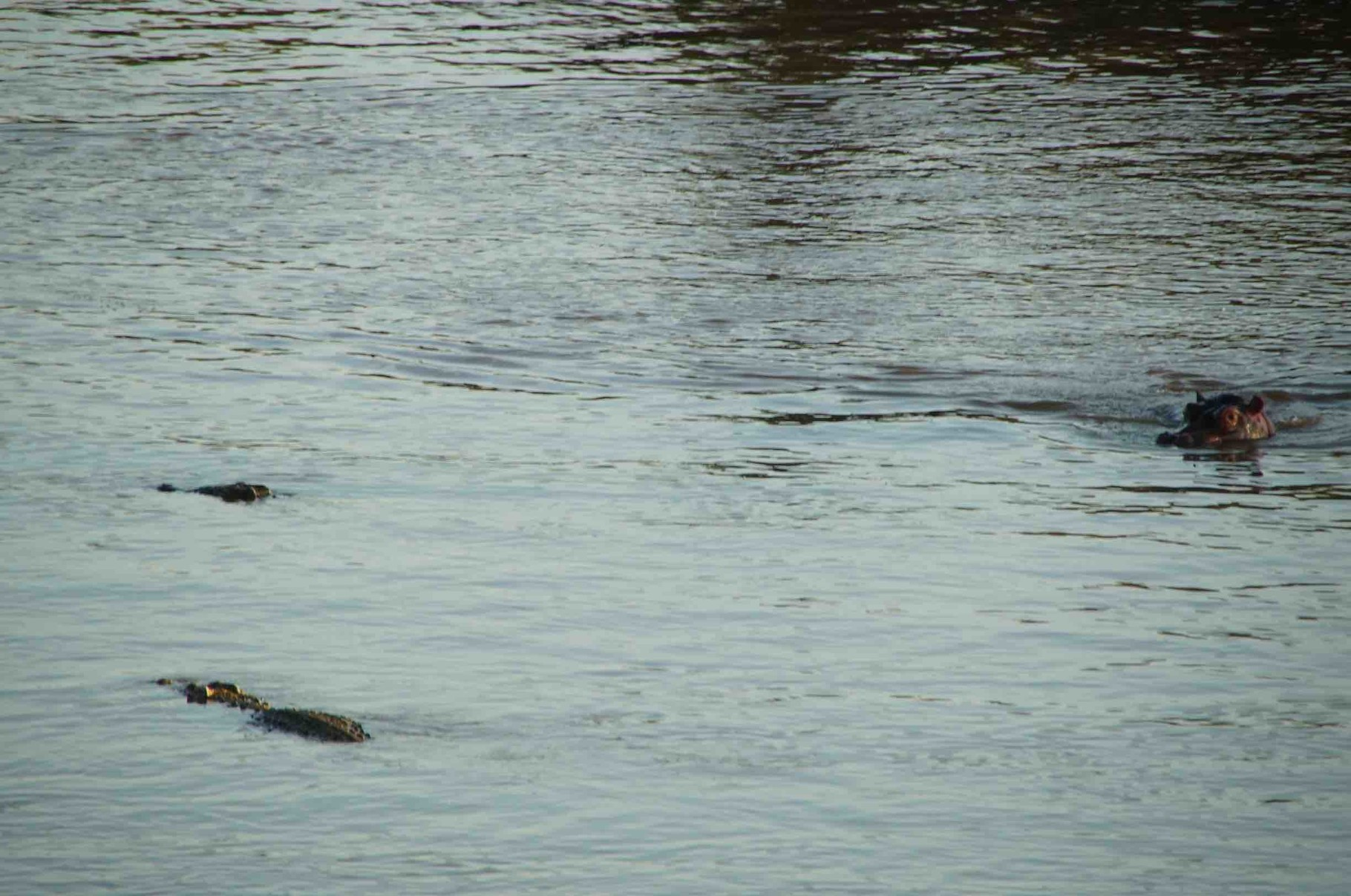 Krokodile und Nilpferde teilen sich eine Badewanne