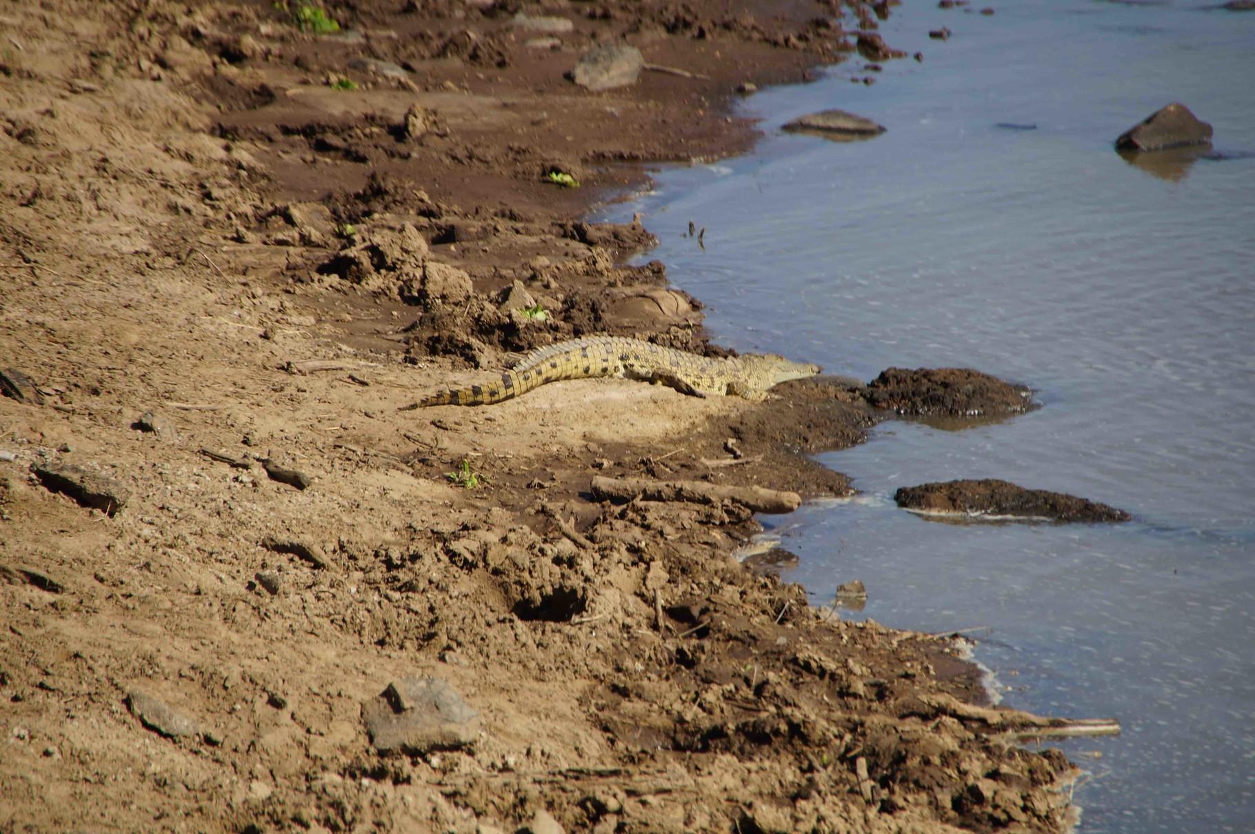 ein Krokodil beim Chillen
