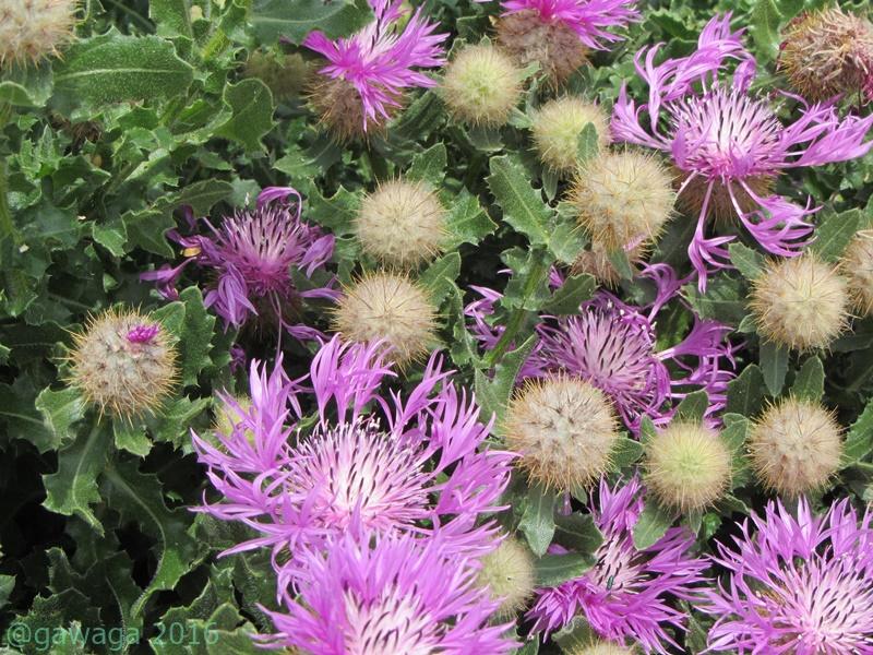 wilde Blüten an den Dünen