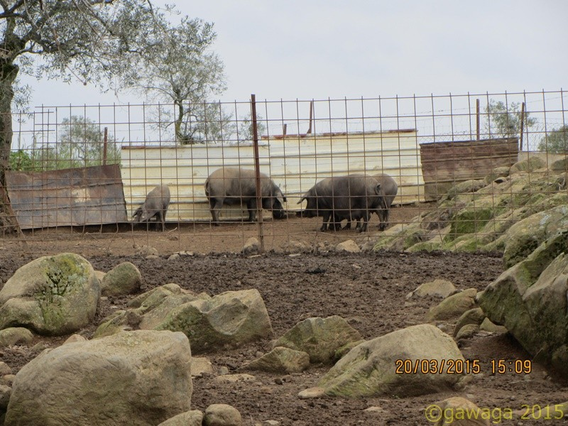 schwarze Schweine der Sierra Aracena