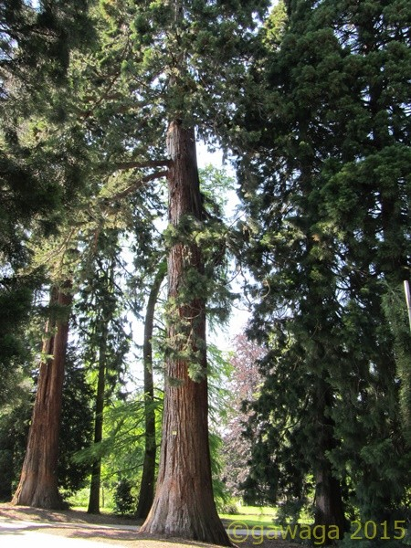 riesige Bäume im Kurpark von Badenweiler