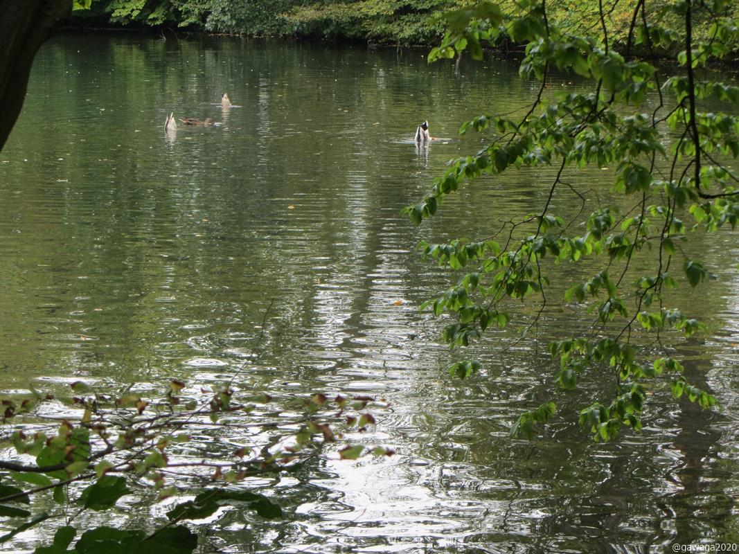 Köpfchen in das Wasser, Schwänzchen in die Höh´ .......