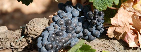 Spaniens Winzer begeistern mit ihrer geradezu beispielhaften Qualitätsoffensive und verbraucherorientierten Preispolitik die Weinfreunde in ganz Deutschland.
