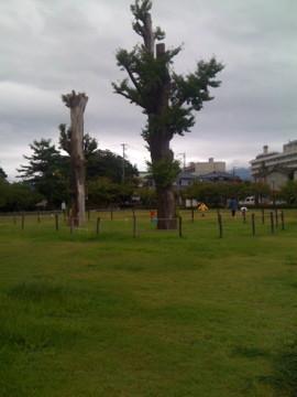旧練兵場の銀杏の木。藩主の庭園だったころから、この地に根をはっているそうです。
