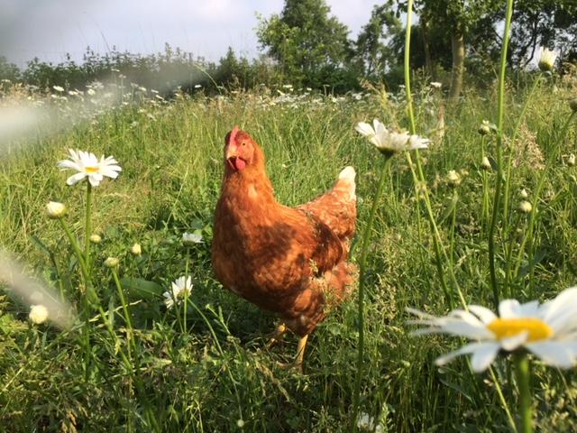 täglich frische Eier von unseren Hühner