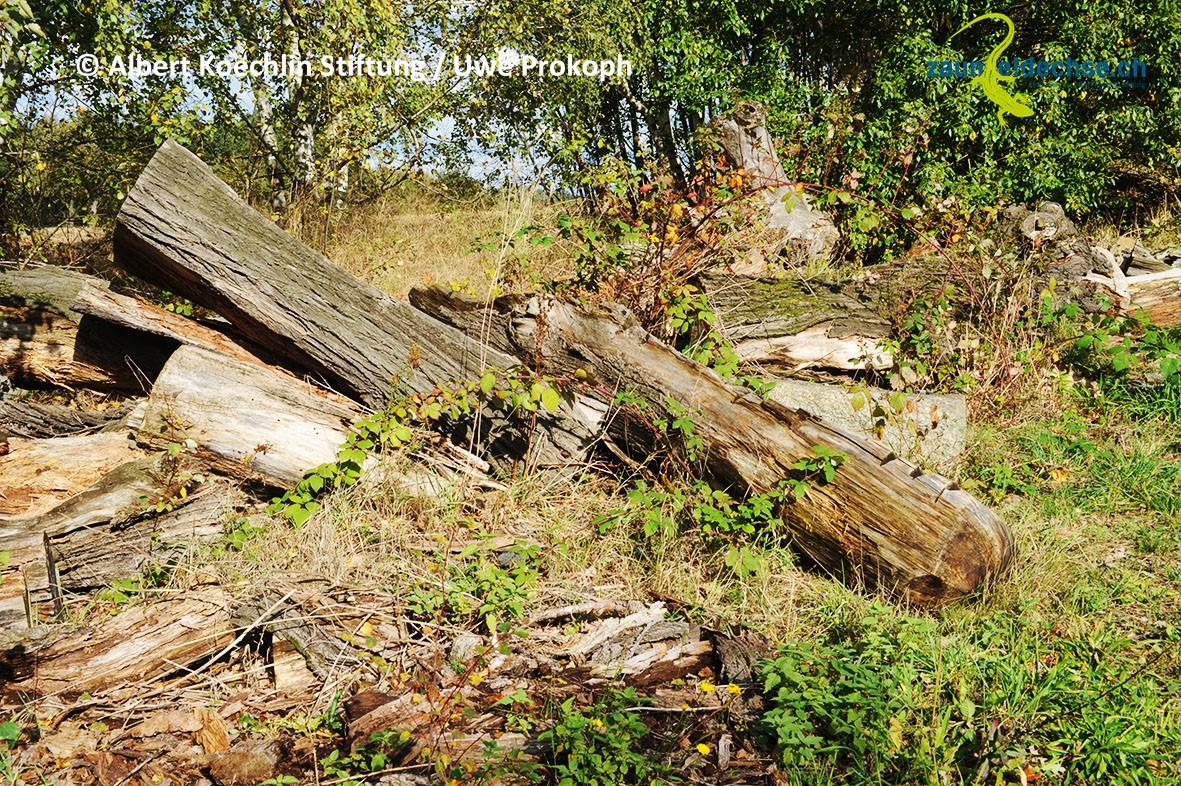 Mut zur Unordnung! Liegendes Totholz bietet Zauneidechsen in fast jeder Form willkommene Lebensraumstrukturen.